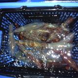 6月1日(木)沼津沖早夜マルイカ試し釣り